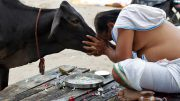 Make Cow National Animal, Life Term For Slaughter, Court Recommends