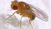 Fruit fly: The tiny star behind five Nobel Prizes in medicine
